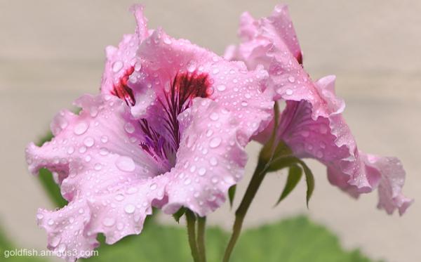 Pelargonium Carisbrooke