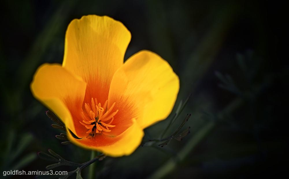 Californian Poppy - Eschscholzia Californica