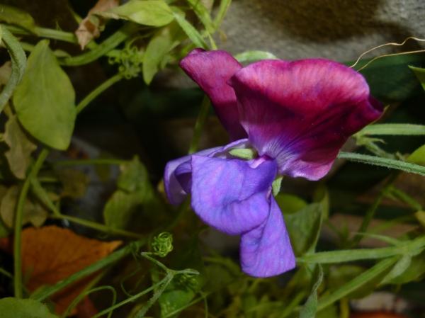 L'orchidée du jardin