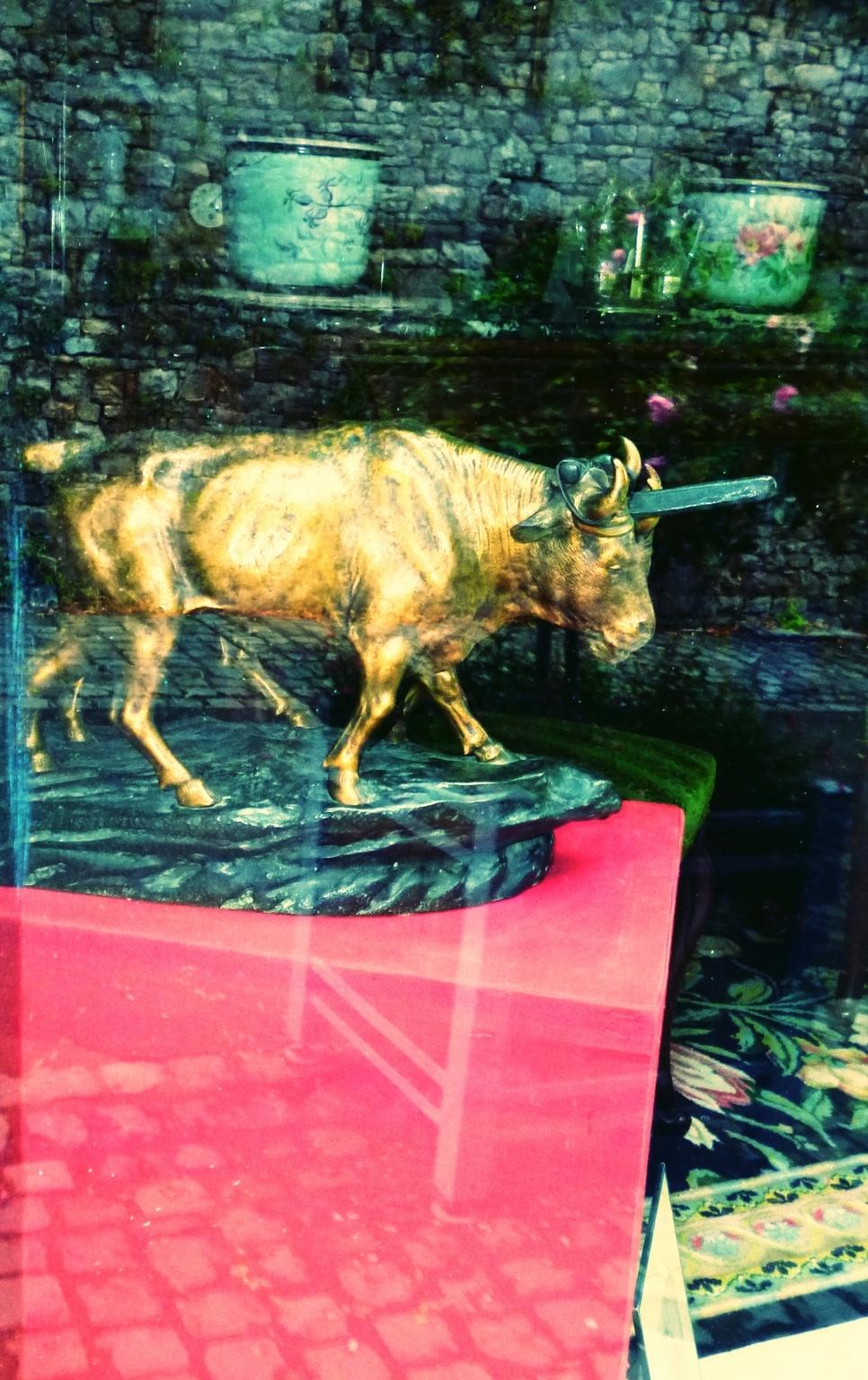 La puissance de l'amour des taureaux Angevins