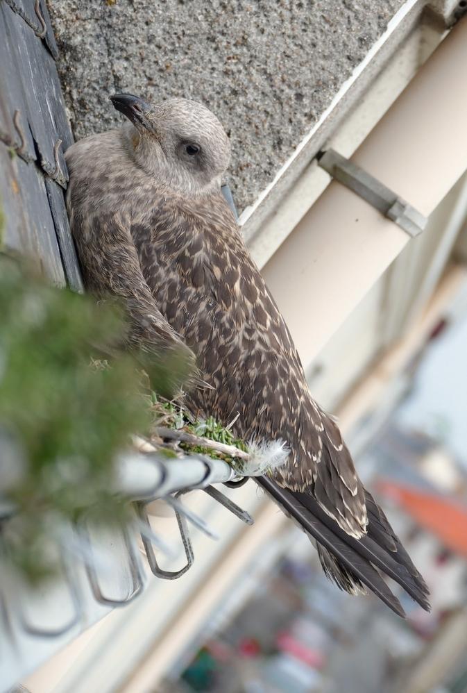 Un jeune visiteur tombé du ciel au nid douillet