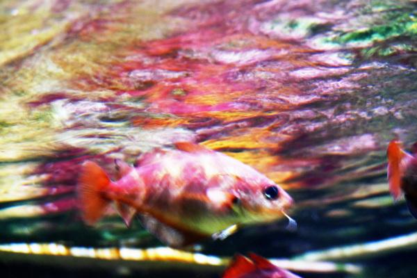 Se changer en mille couleurs au passage du poisson