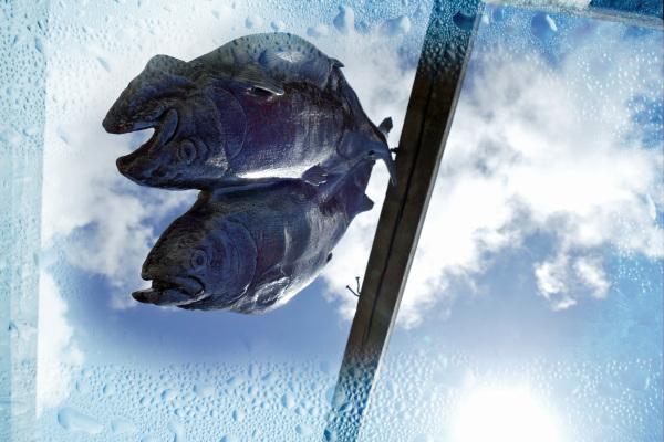 Décongeler le poisson cuit par le ciel bleu...