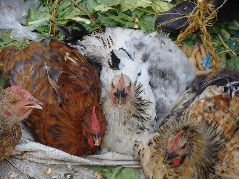 مرغ خانگی در بازار
