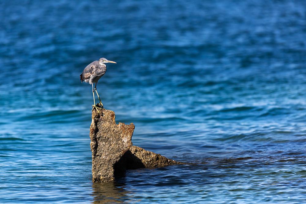 alone heron