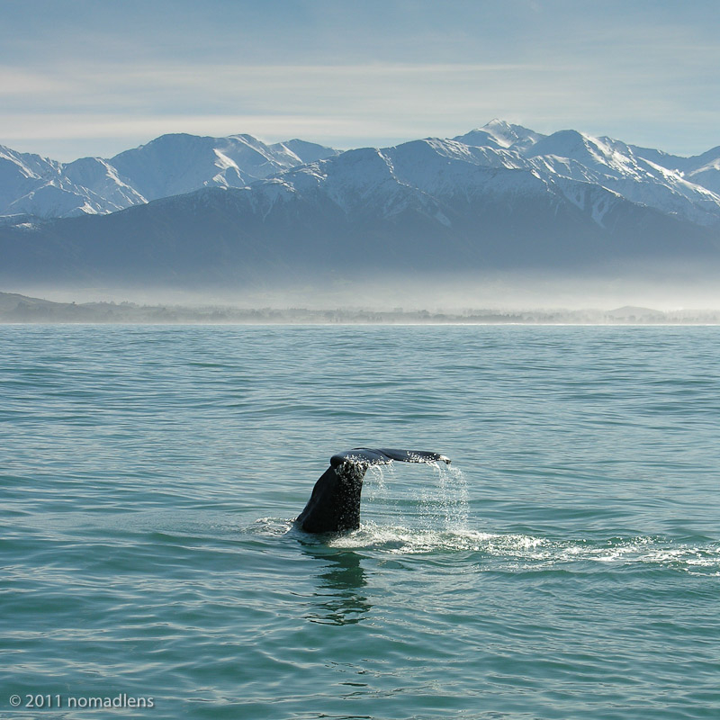 Whale, Kaikoura, Canterbury, New Zealand