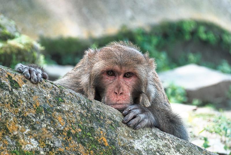 Rhesus Macaque at Pashupatinath, Nepal