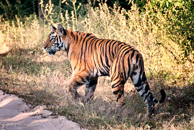 Tigress, Bandhavgarh, MP, India