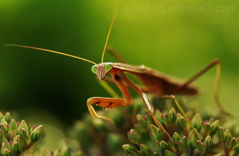 macro insect praying mantis