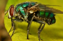 The Common Blowfly (Calliphoridae)