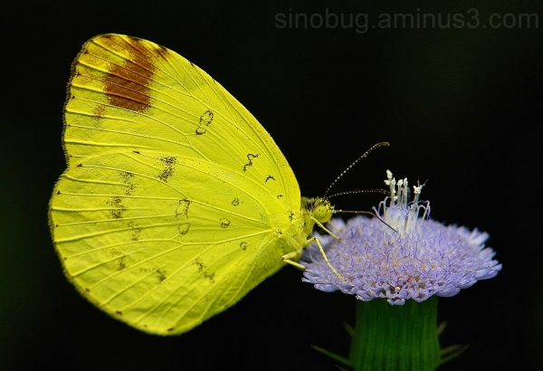 Grass Yellow Eurema hecabe Pieridae China