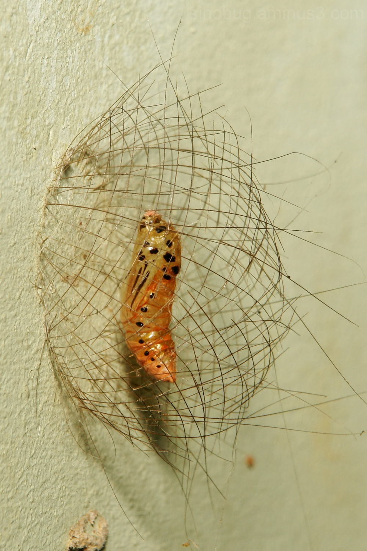 tiger moth arctiidae  pupa basket