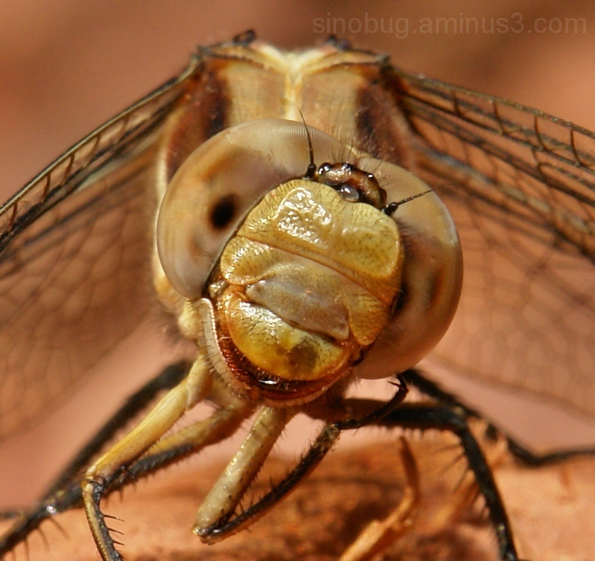 dragonfly macro head Yunnan China