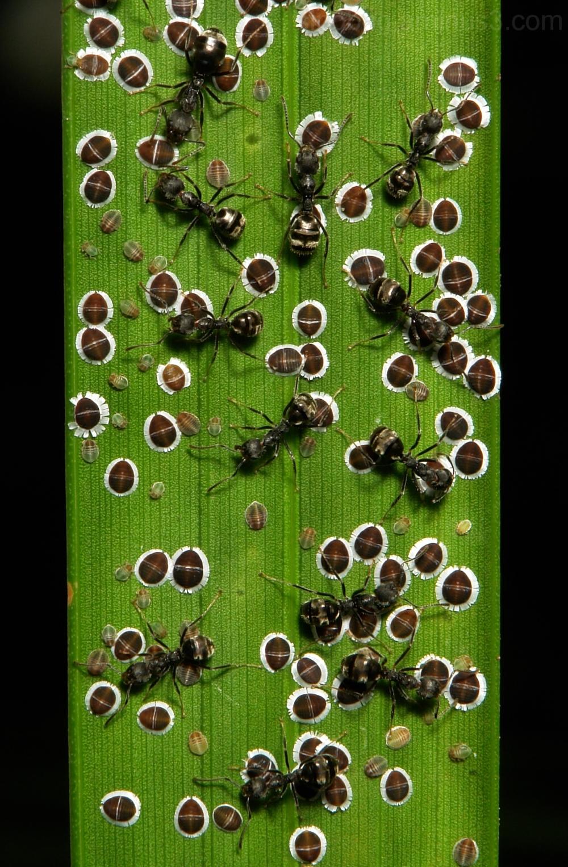 Sternorrhyncha Coccoidea ants Hemiptera