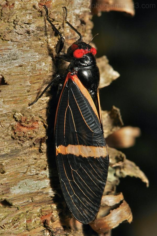 Cicada Tosena paviei Cicadidae China