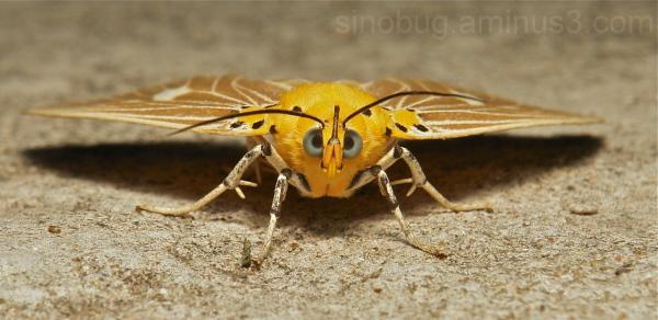 Moth Asota Plaginota Noctuidae China