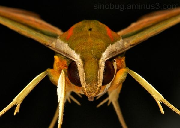 Yam Hawk Moth Theretra nessus Sphingidae China