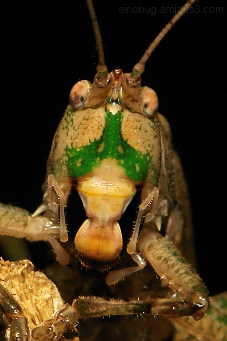 Bush Cricket Katydid Tettigoniidae Orthoptera