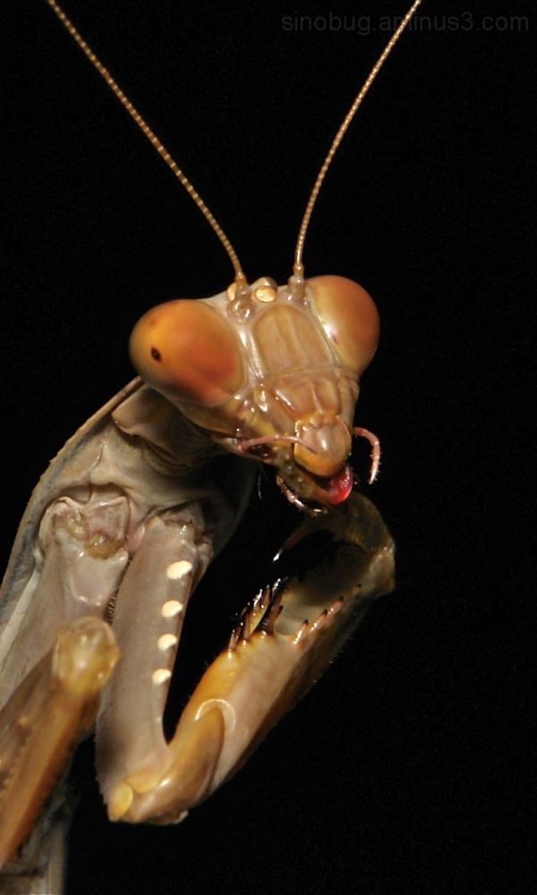 praying mantis China Yunnan macro