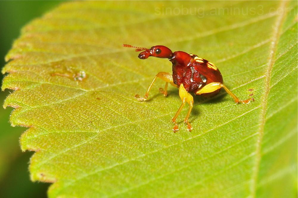 Weevil Korotyaevirhinus necopinus Attelabidae