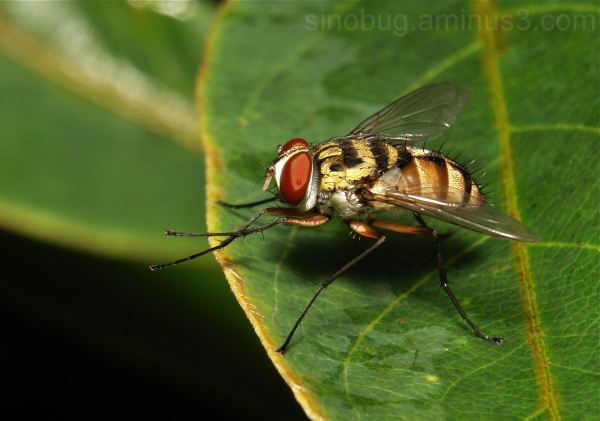 Tachinidae Fly Diptera China macro