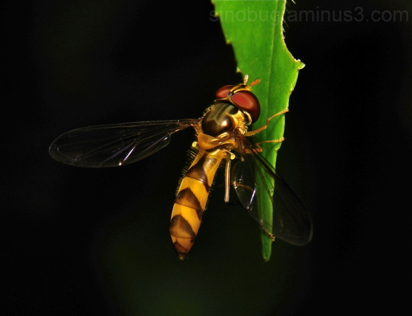 Hover Fly Syrphidae Diptera hoverfly China