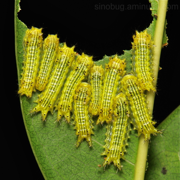 Stinging Nettle Slug Caterpillars (Part 2)