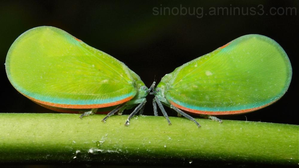 Planthopper Phromnia Flatidae hopper Hemiptera