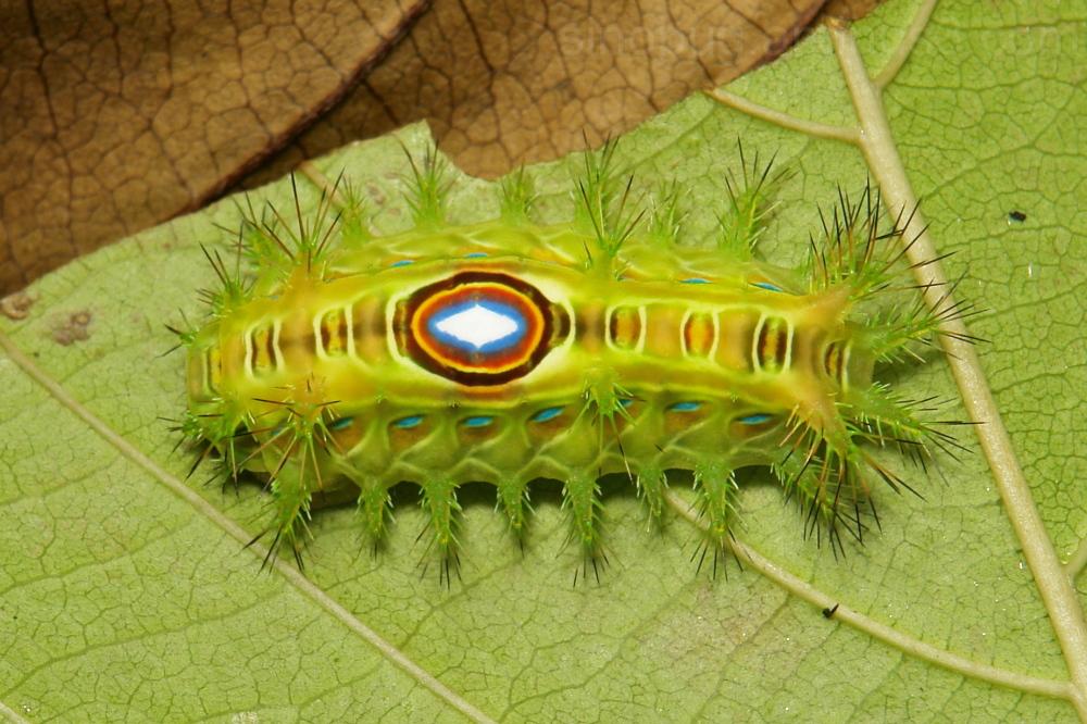 Stinging Nettle Slug Caterpillar Cup Limacodidae