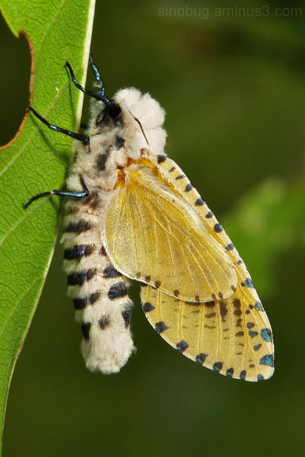 Leopard Moth Zeuzera Cossidae China