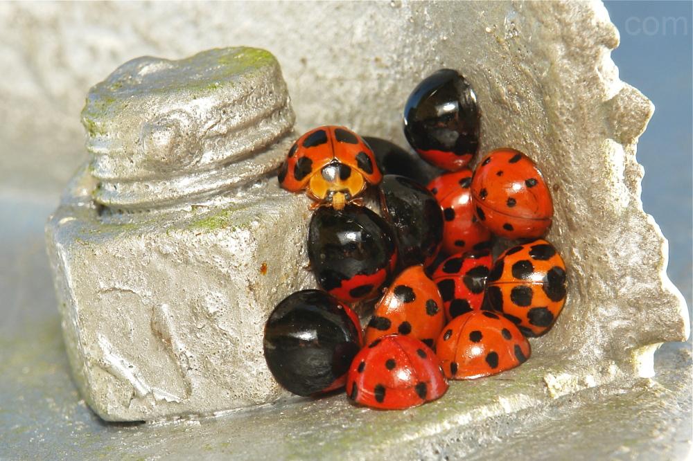 Ladybird beetle Harmonia Coccinellidae China