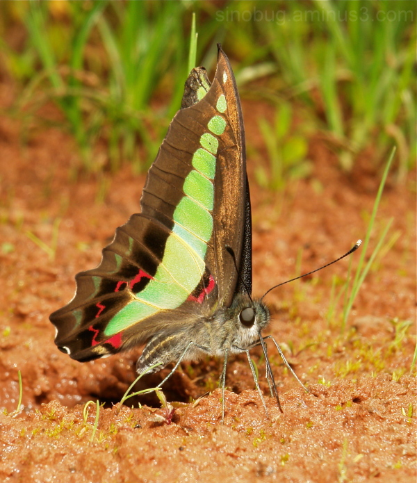 Bluebottle triangle Graphium sarpedon Papilionidae