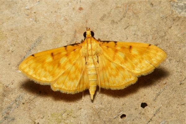 Moth Crambidae Spilomelinae China Yunnan