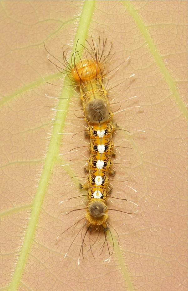 Tussock Moth Caterpillar Lymantriinae Erebidae