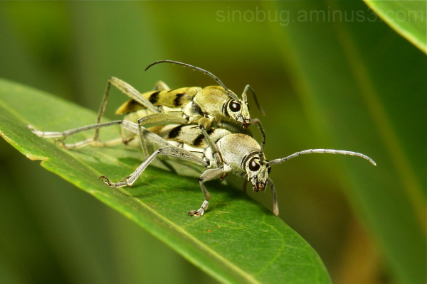 Longhorn Beetle Chlorophorus Cerambycidae China