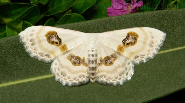 Looper Moth Problepsis vulgaris Sterrhinae