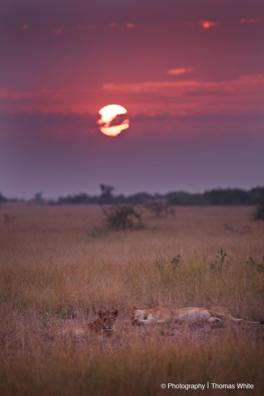 Queen Elizabeth National Park XII - Lions