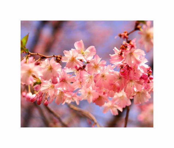 Cherry Blossom - 5