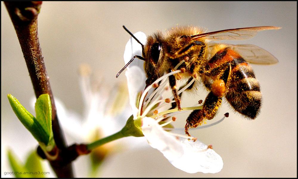 Moratoire sur la peste des abeilles. dans biodiversité ee095a9e4d2fef7f0f42f2f2357918a3_giant