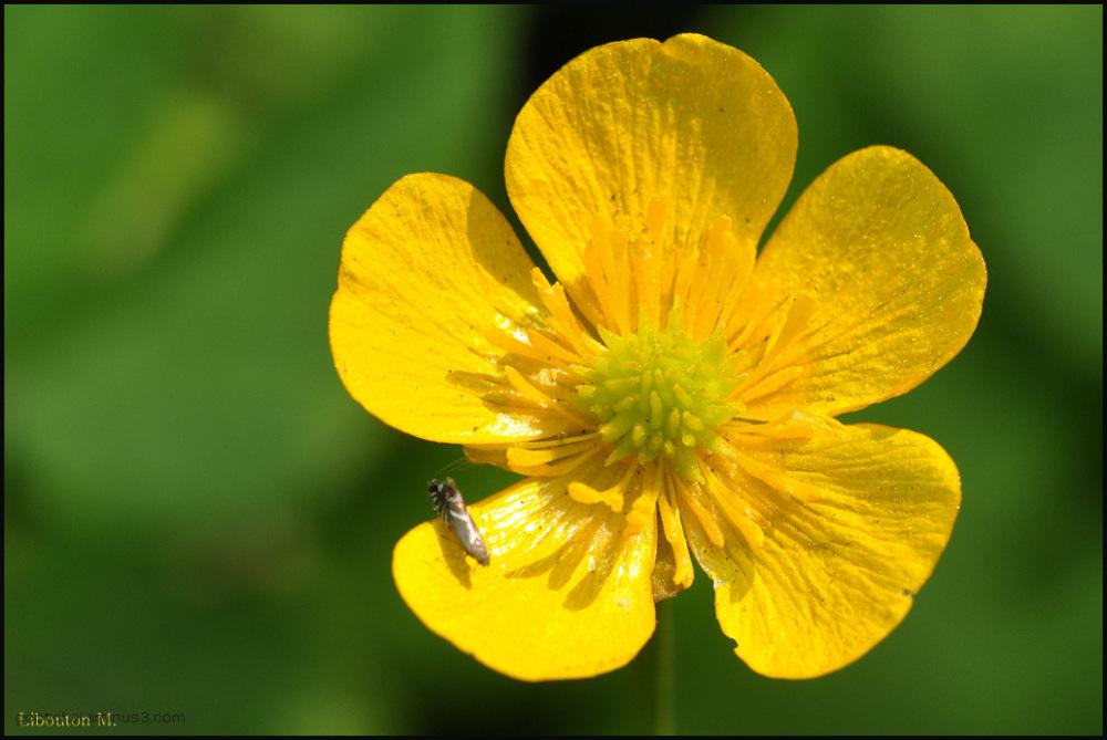 Le bouton d'or .....La belle fleur !!!