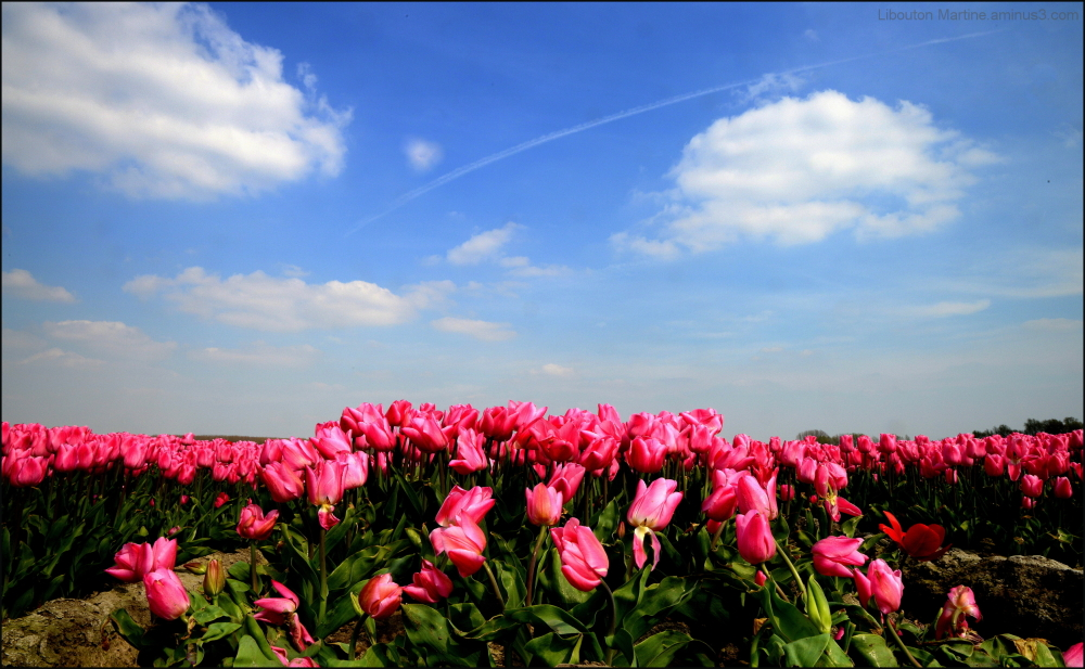 La danse des tulipes