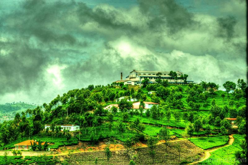 Tea Garden in Coonoor