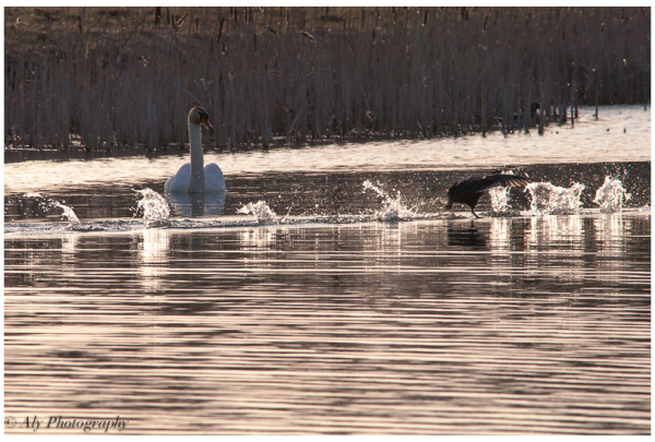 confused swan