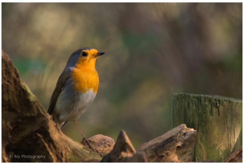 Robin - roodborst