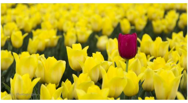 Drenthe, bollenvelden, bloemen ,tulpen