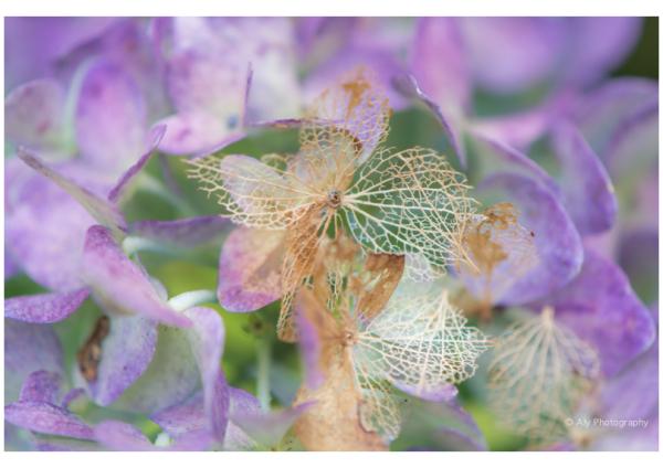 decorative hydrangea