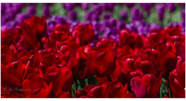 Tulips Red & Purple