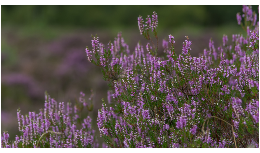 The heather colors