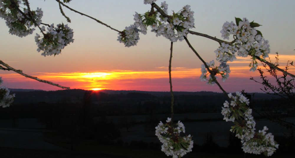 Les cerisiers du soir