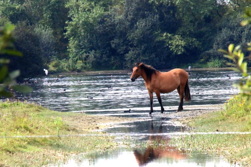 Henson, cheval du Marquenterre